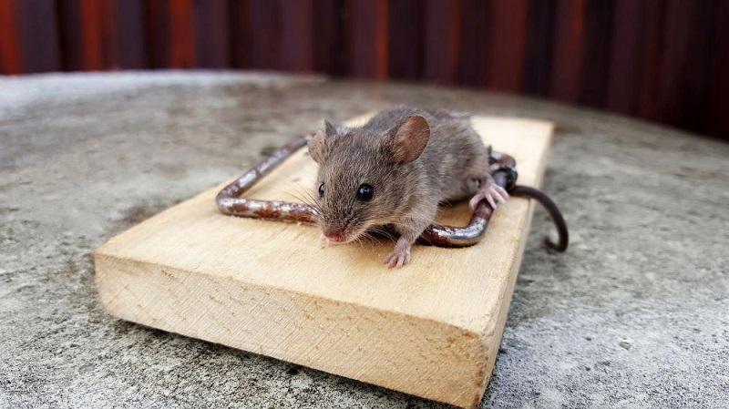 ネズミ 駆除 自分で